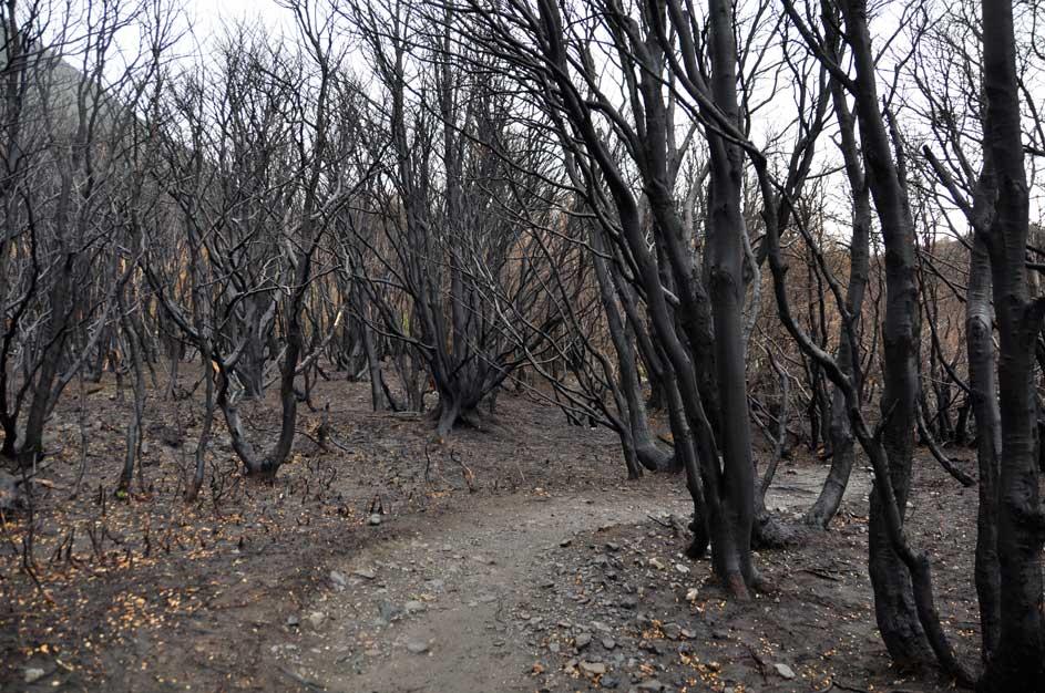Erdő a tűz után a Torres del Paine Nemzeti Parkban