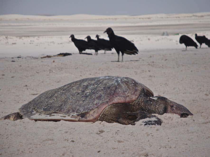 Egy elhulott teknős a Lençois Maranheses Nemzeti Parkban