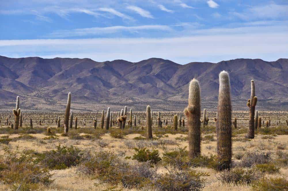 Kaktuszerdő a Los Cardones Nemzeti Parkban