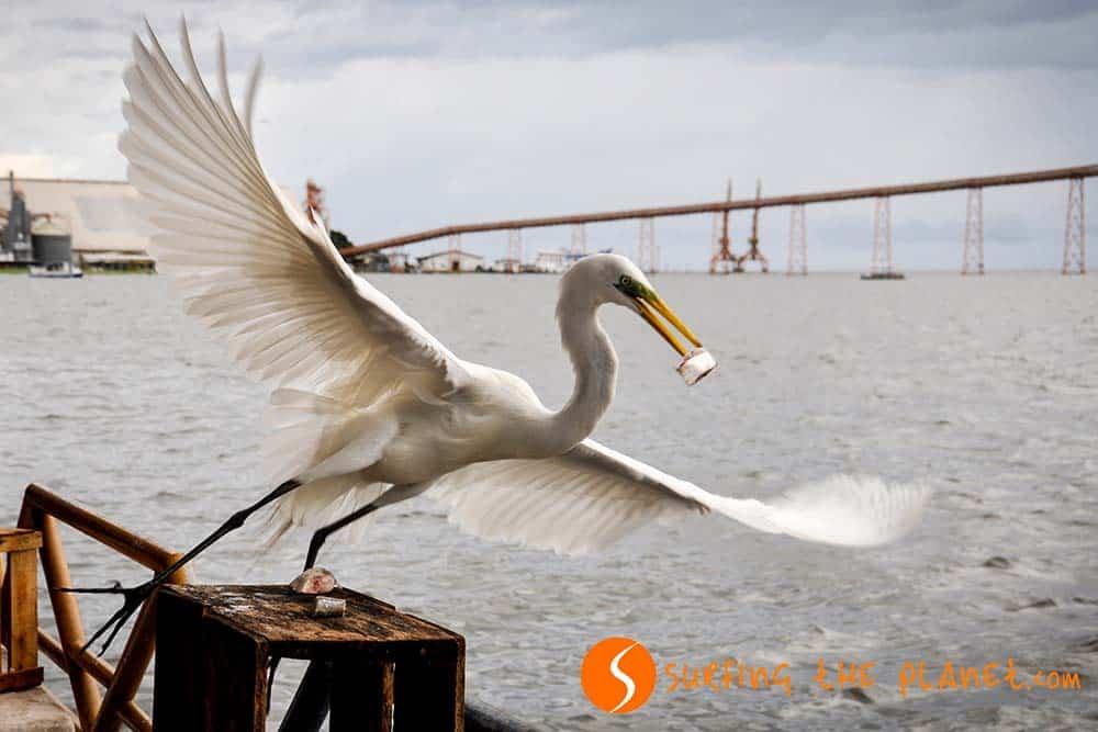 Big white bird in Santarém