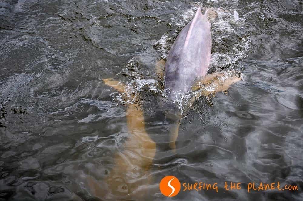 Pink dolphin in Santarém