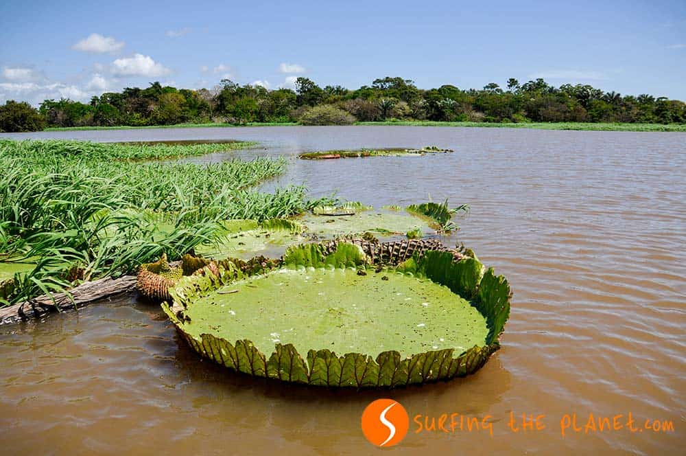 Water Lilies in the Amazon