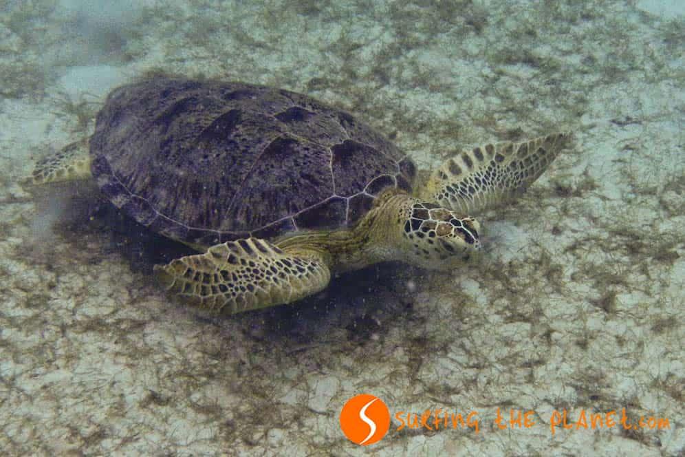 Marine turtle in Perhentian Island