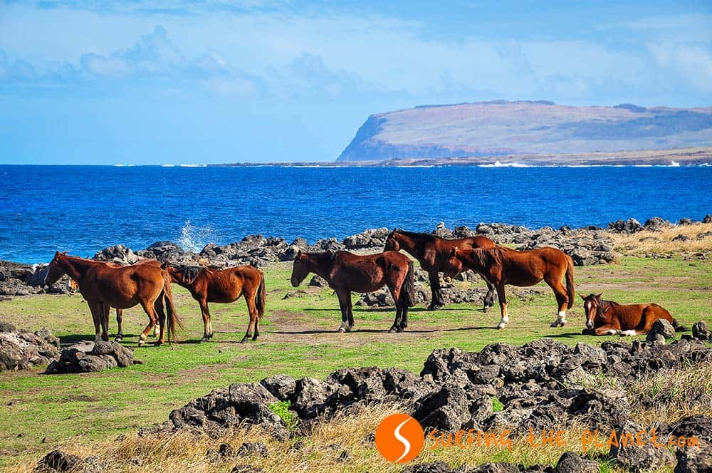 Wild horses Easter Island