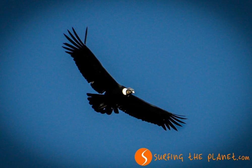 Condor in the Colca Canyon