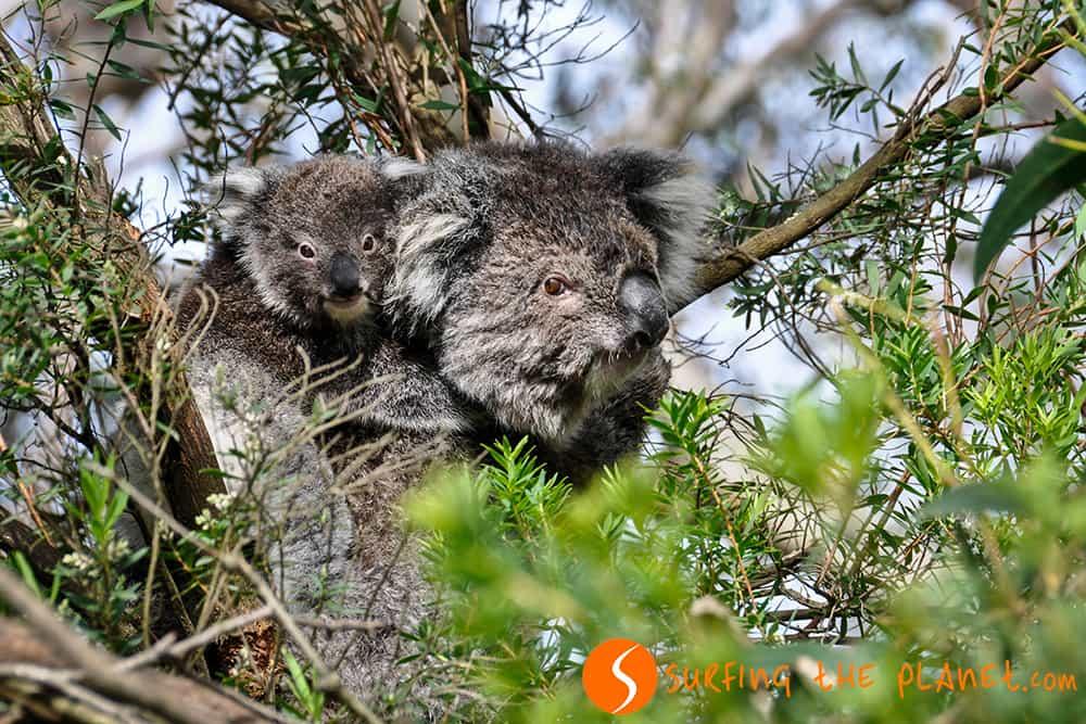 Koalas in the Great Ocean Road