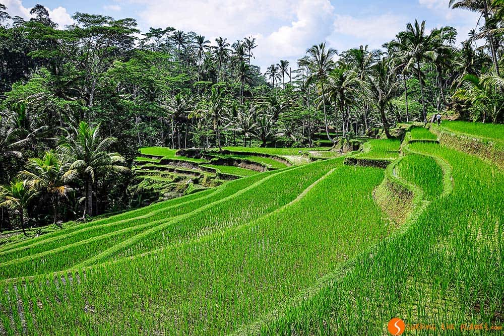 Bali rice fields close to Pura Gunung Kawi