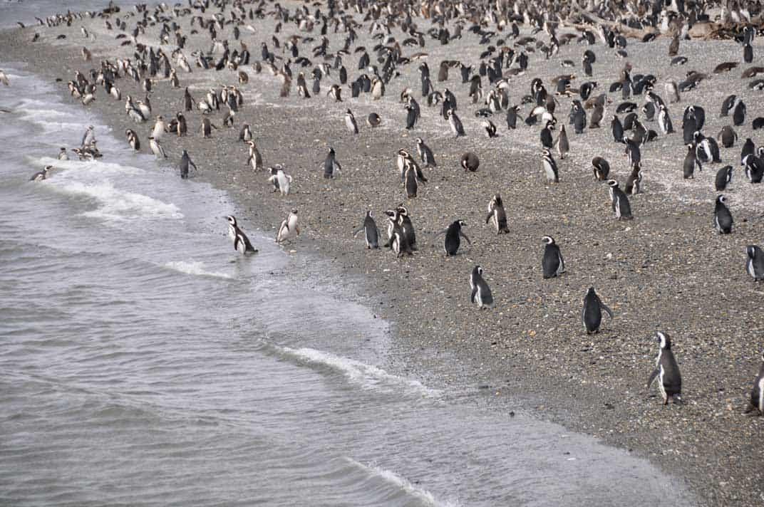 Colonia di pinguini nel canale Beagle | Viaggio in Patagonia