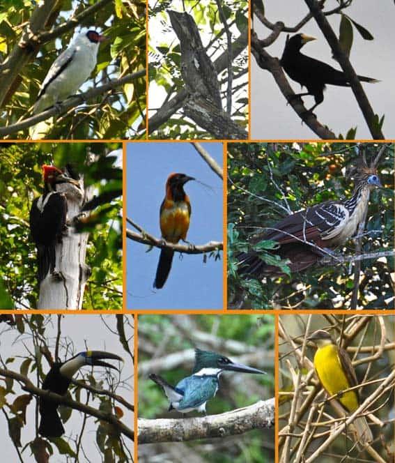 uccelli dell'amazzonia