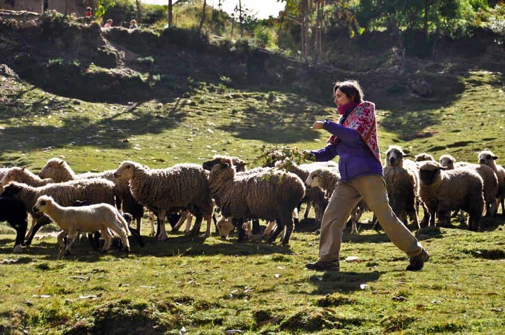 Birkaterelgetés a kecsuák között, Patacancha
