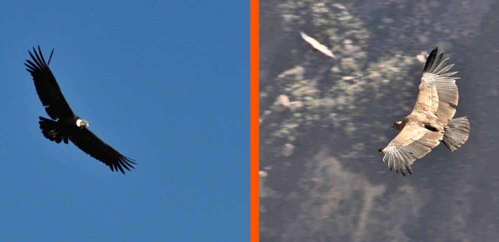 Cruz del Condor, Cañon del Colca, Perú