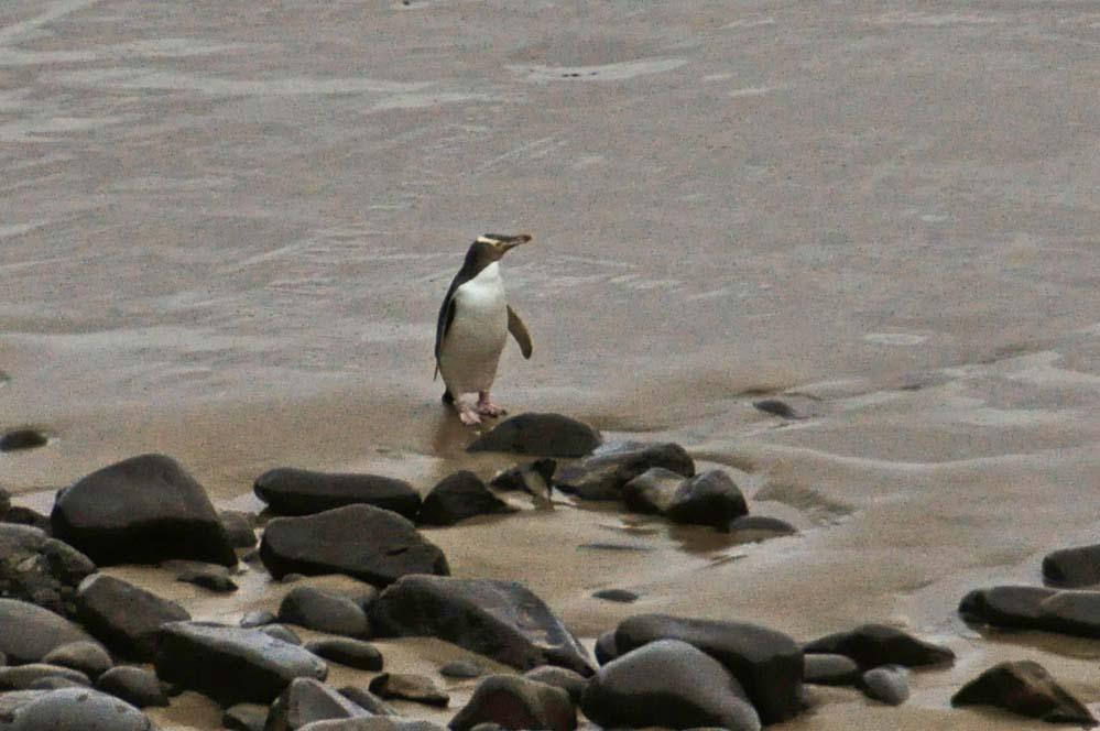 Pinguino occhio giallo | Viaggio in Nuova Zelanda