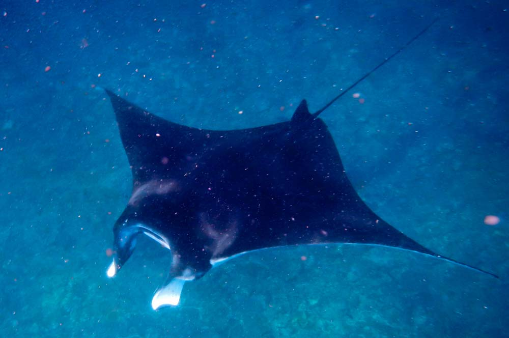 Snorkelling con manta isola di Lembongan Bali | Viaggio Indonesia