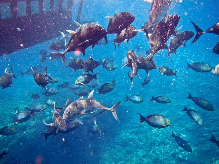 Giant Belly Fish en Nusa Lembongan, Bali