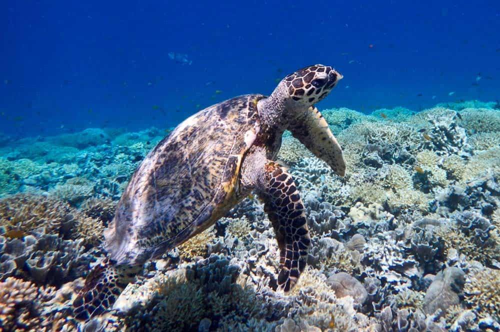 Tartaruga marina a Gilli Meno | Viaggio Indonesia