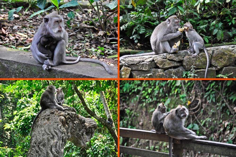 Monos en Monkey Forest, Bali, Indonesia