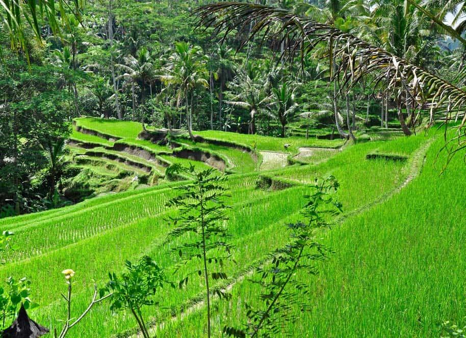 Arrozales verdes, Bali, Indonesia