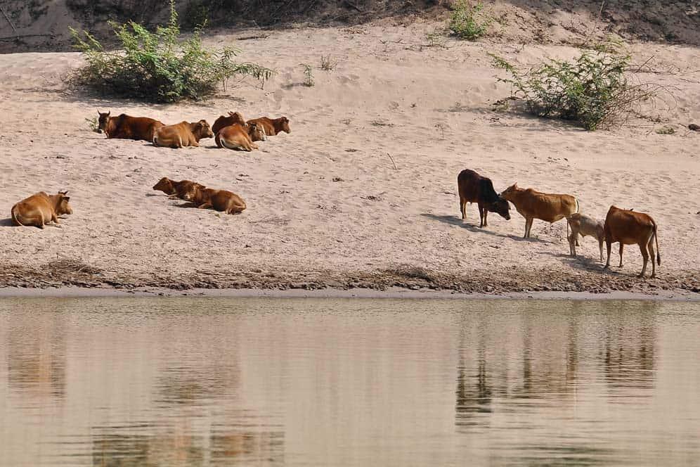 Buffalos laying on the river shore
