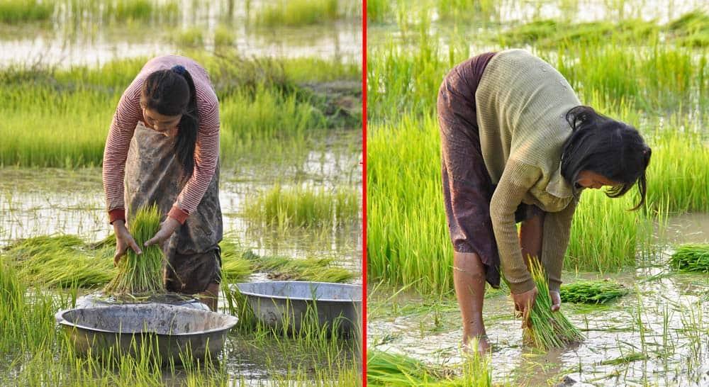 Persone che lavorano nelle risaie nel Laos