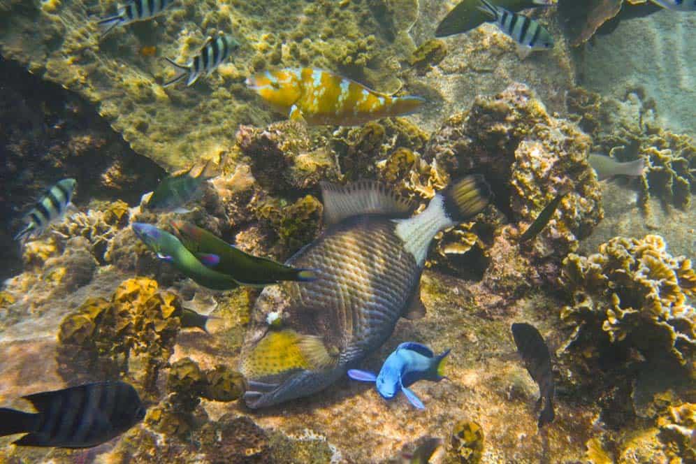 Trigger Fish bucear en Koh Tao