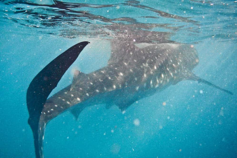 Nuotando con gli aquali balena | Viaggio Filippine