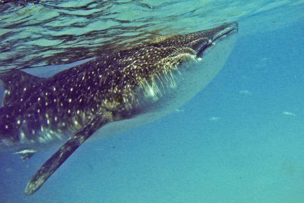 Tiburones ballena, Oslob, Filipinas