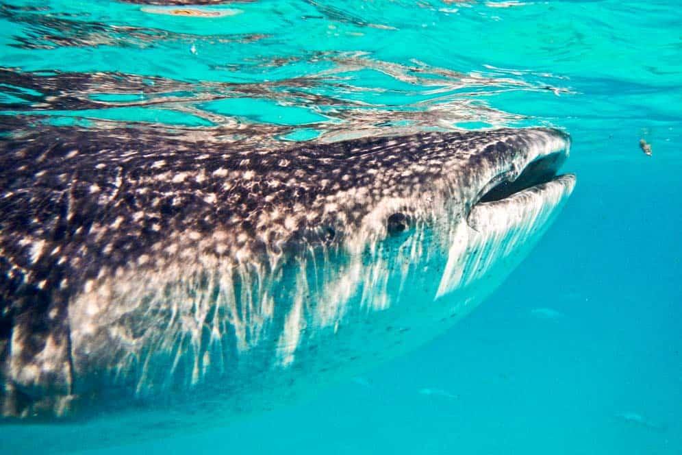 Snorkelling con squalo balena | Viaggio Filippine