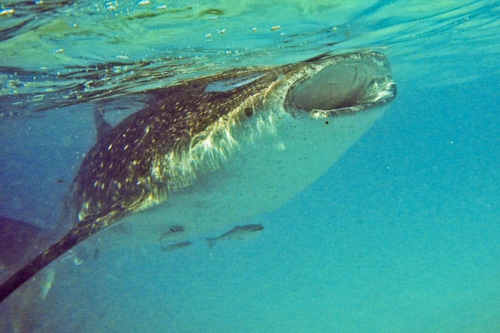 Squalo Balena Oslob Filippine