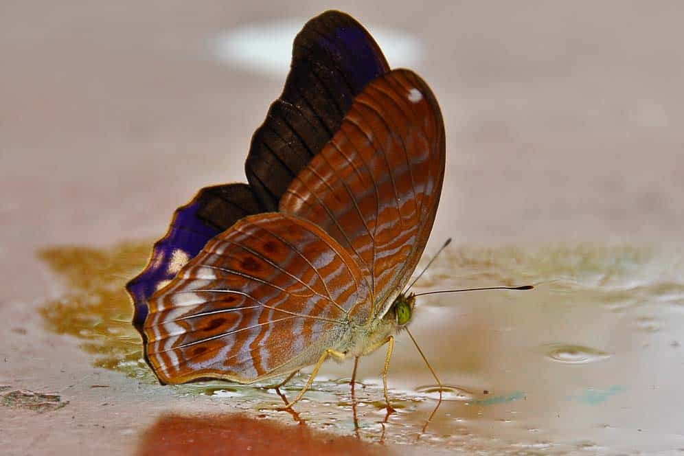 Farfalla nel Gunung Brinchang, trekking a Cameron Highlands | Viaggio in Malesia