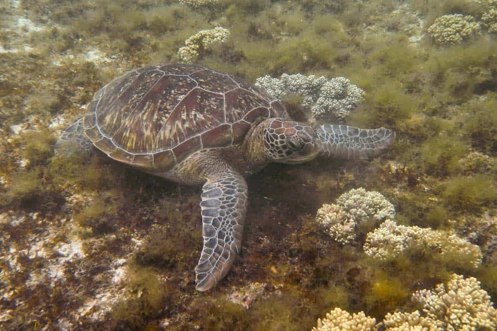 Turtle in Apo Island