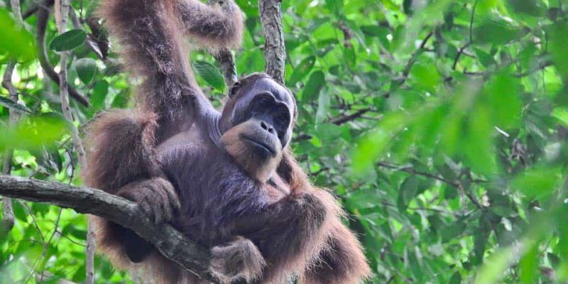 Orangotango a Bukit Lawang | Viaggio Indonesia