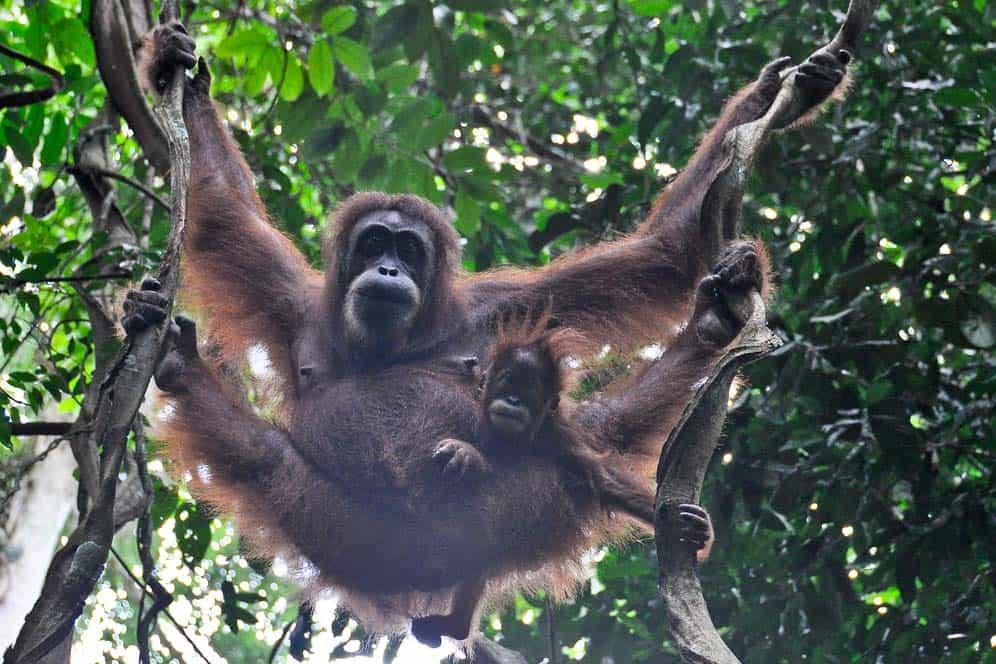 Orangután con niño