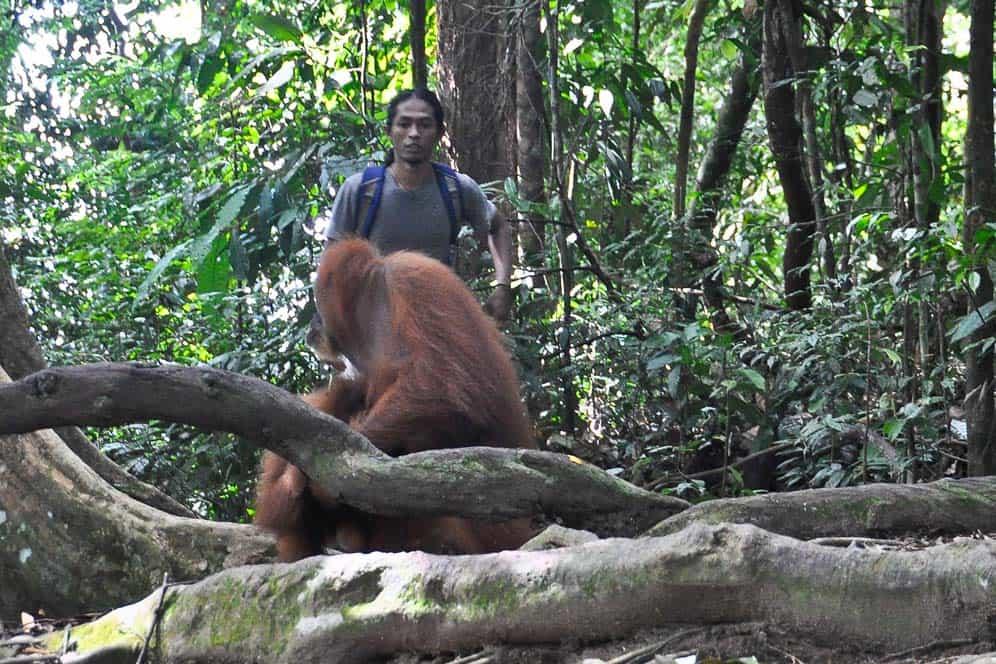 Orangután Pessek