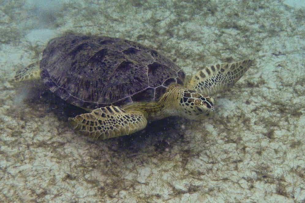 Tartaruga marina nell'isola Perhentian Kecil | Viaggio in Malesia