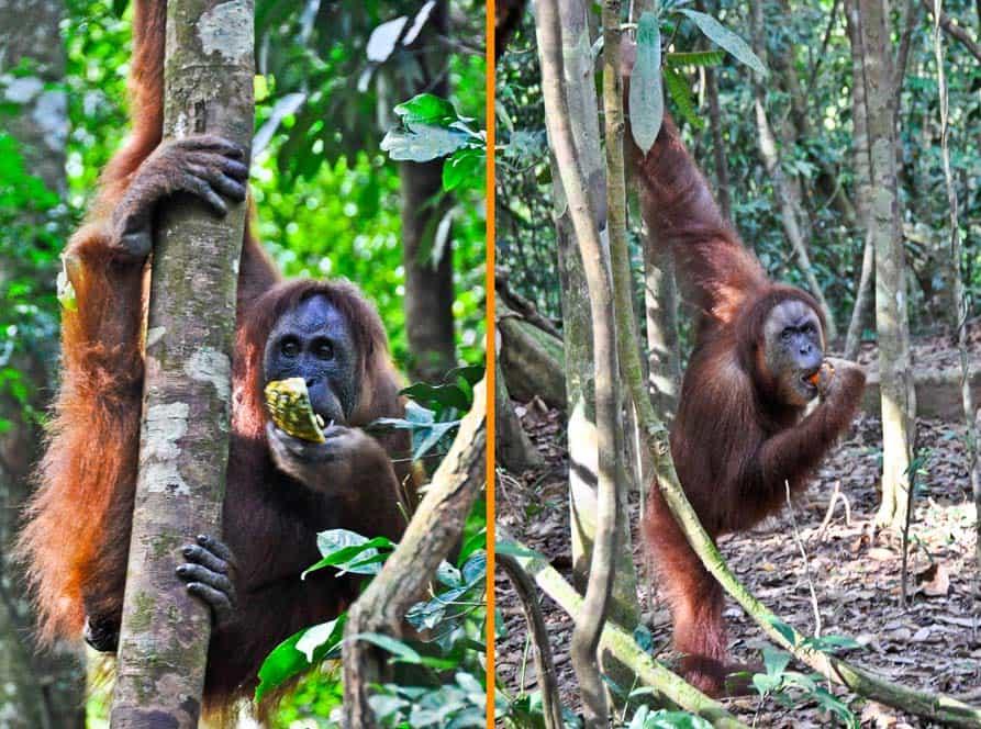 Orangután Mina