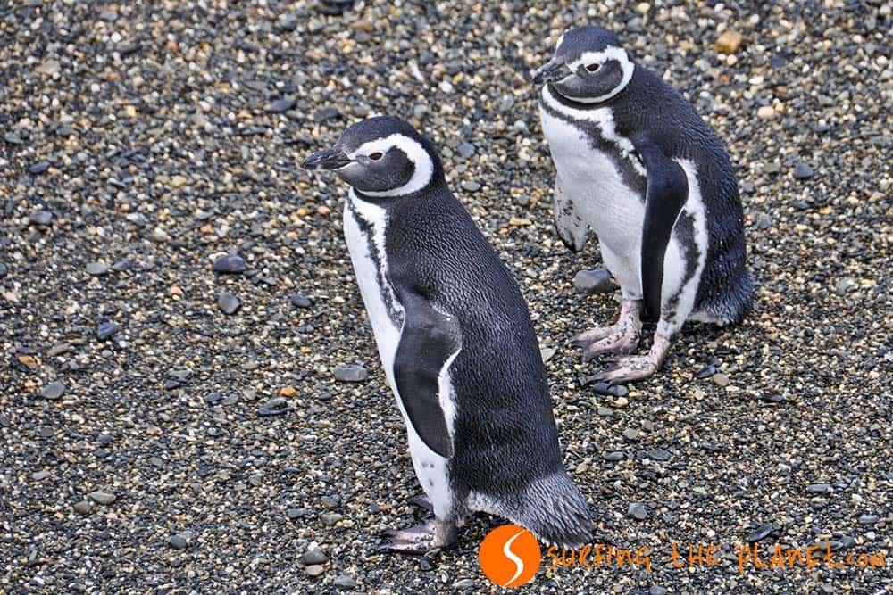 Pinguinos en el Canal Beage