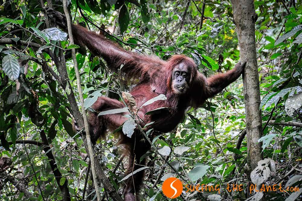 Orángutánok Szumátrából