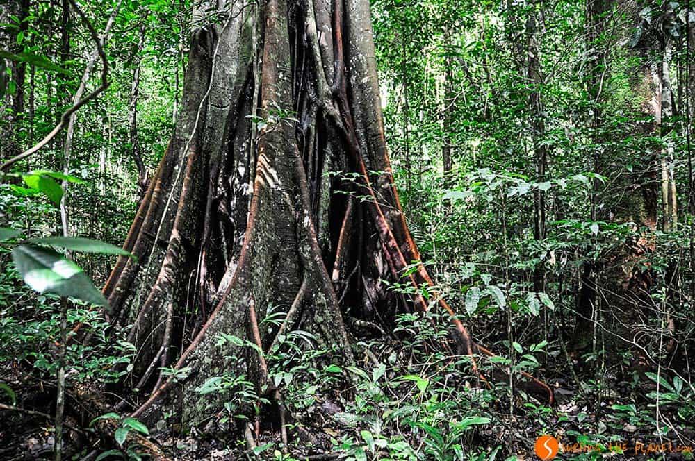Árboles enormes en la selva densa - Amazonas