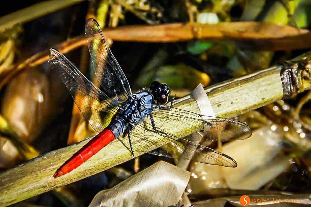 Una libélula roja - Viaje al Amazonas