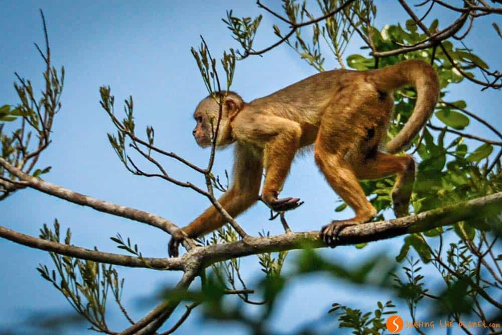Un mono saltando de árbol en árbol - Amazonia
