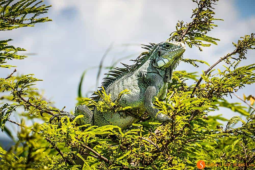 Iguana tomando el sol - Viaje al Amazonas