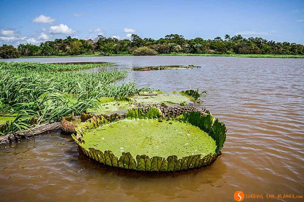 Un lírio acuático en el Amazonas
