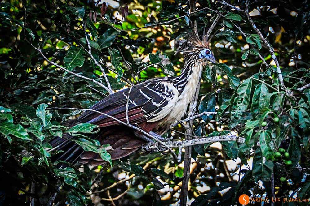 El huacín, un pájaro extraño de la Amazonia