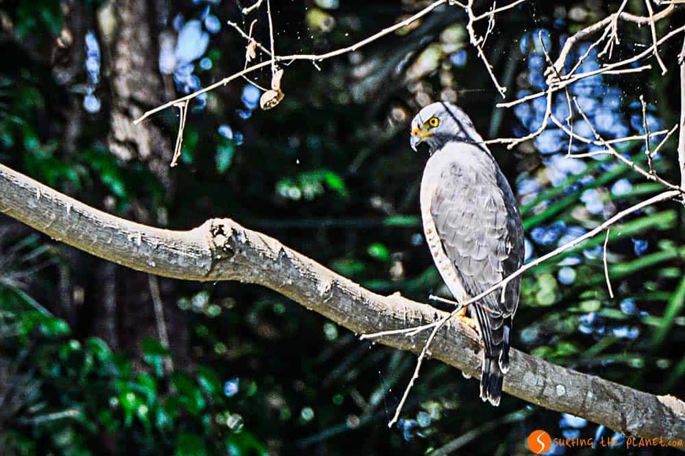 Un halcón en el árbol - Amazonas