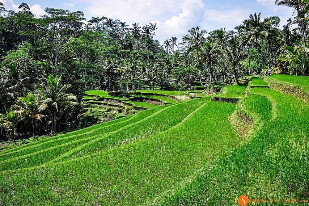Arrozales cerca de Pura Gunung Kawi