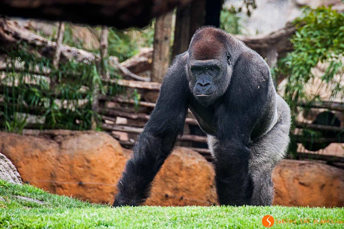 Visit Valencia in 3 days - A Gorilla in the Bioparc