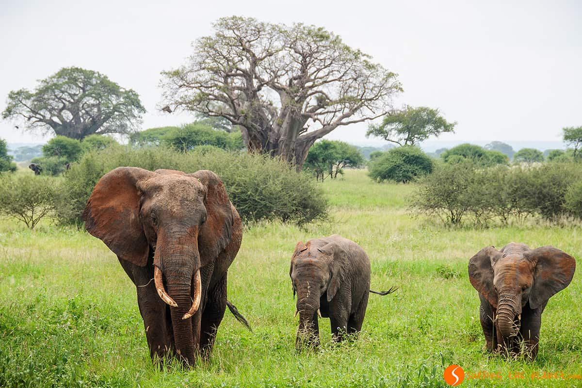 Tarangire Park - The home of the elephants
