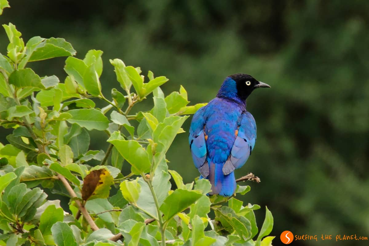 Blue bird - Tarangire National Park