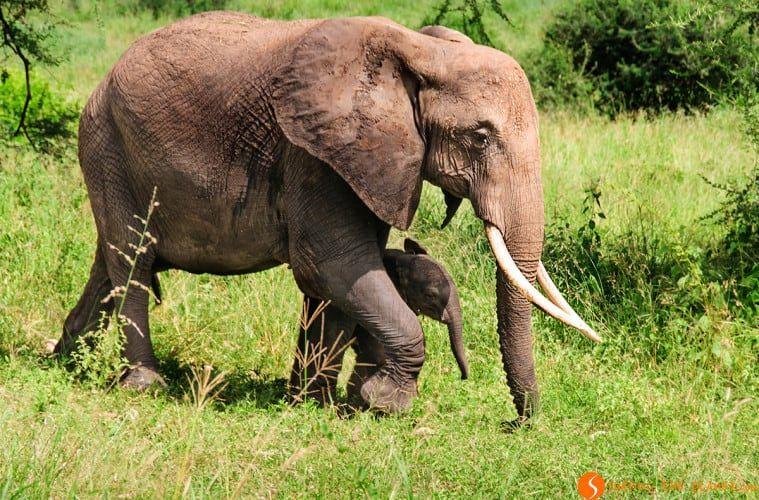 Visiting Tarangire Park - Elephant mum and her calf