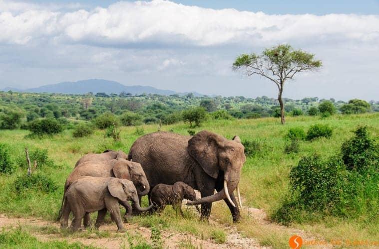 Visiting Tanzania - Elephants in the Tarangire Park